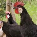 Minorca chicken in backyard