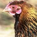 Wyandotte chicken