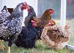 Different chicken breeds in backyard