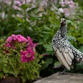 Sebright bantam chicken in backyard garden