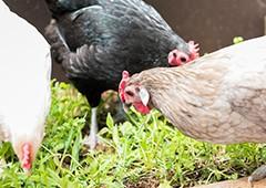 Diverse flock of chickens in backyard coop