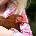 Best chicken breeds for kids
