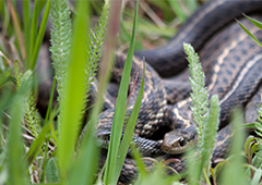 chicken predator snake
