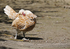 chicken scratching and preening due to lice or mites