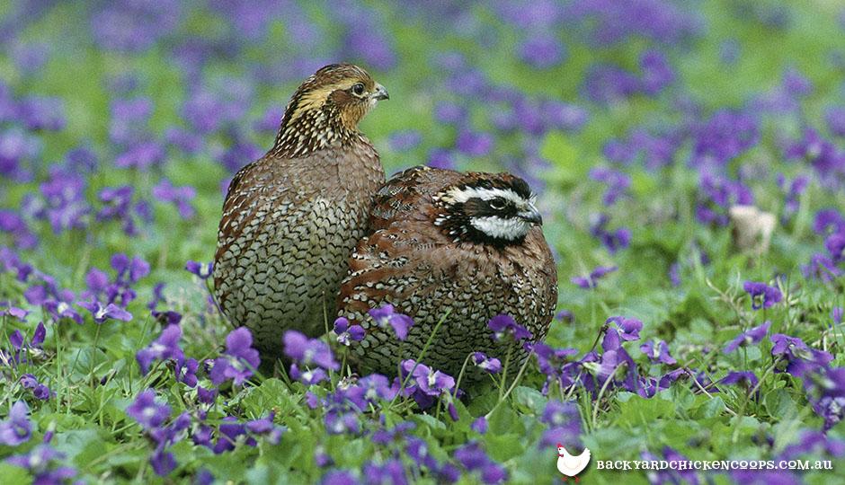 backyard quail bobwhite