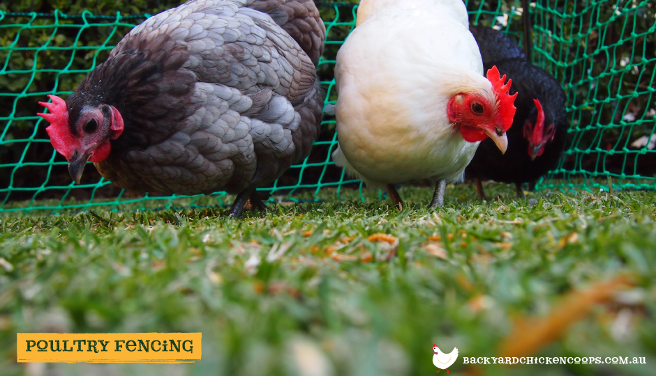 backyard chickens free ranging with poultry fencing