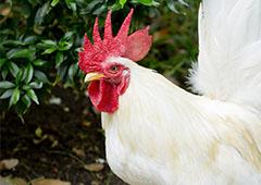 white leghorn bantam rooster