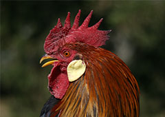 backyard roosters present a different challenge than backyard hens
