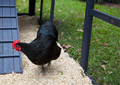 australorp chicken in penthouse coop with chicken wire mesh run