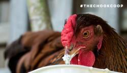 radas wyandotte chicken eating yoghurt