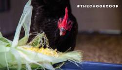 audrey the australorp in her chicken coop eating corn cob treat
