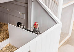broody hen in chicken coop nesting box