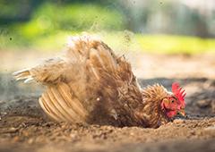 chicken dust bathing in backyard